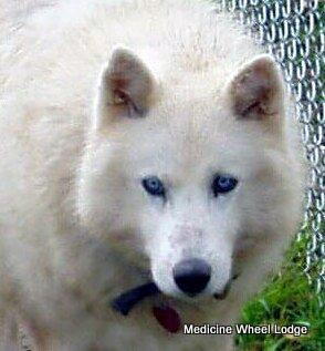 Wolf Sarsi1_01