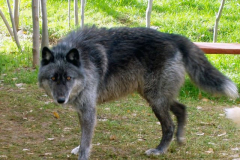 Wolf Oso2_01